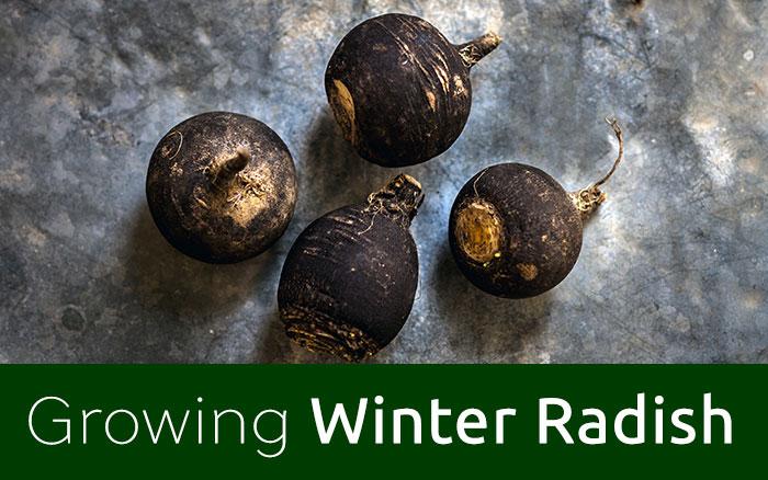Winter Radish