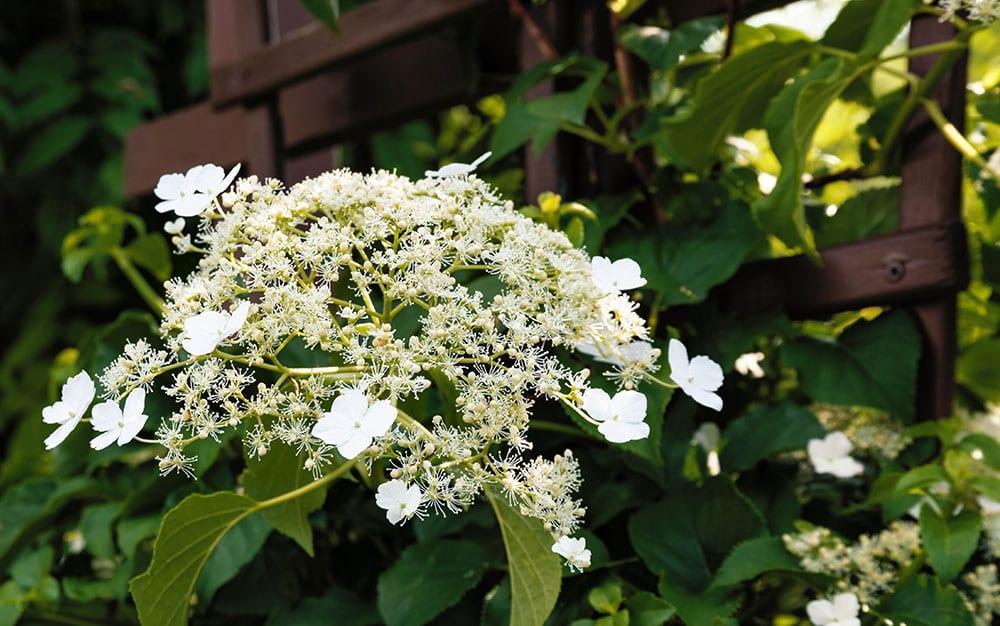 climbing hydrangea shade plant