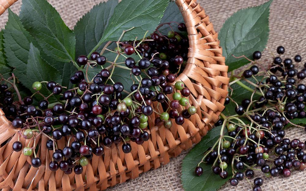 elderberry autumn berry