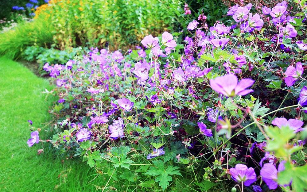 geranium ground cover