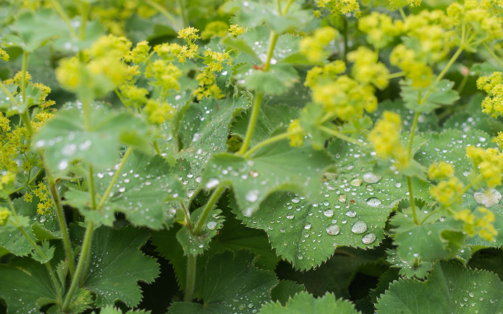 Lady's Mantle ground cover