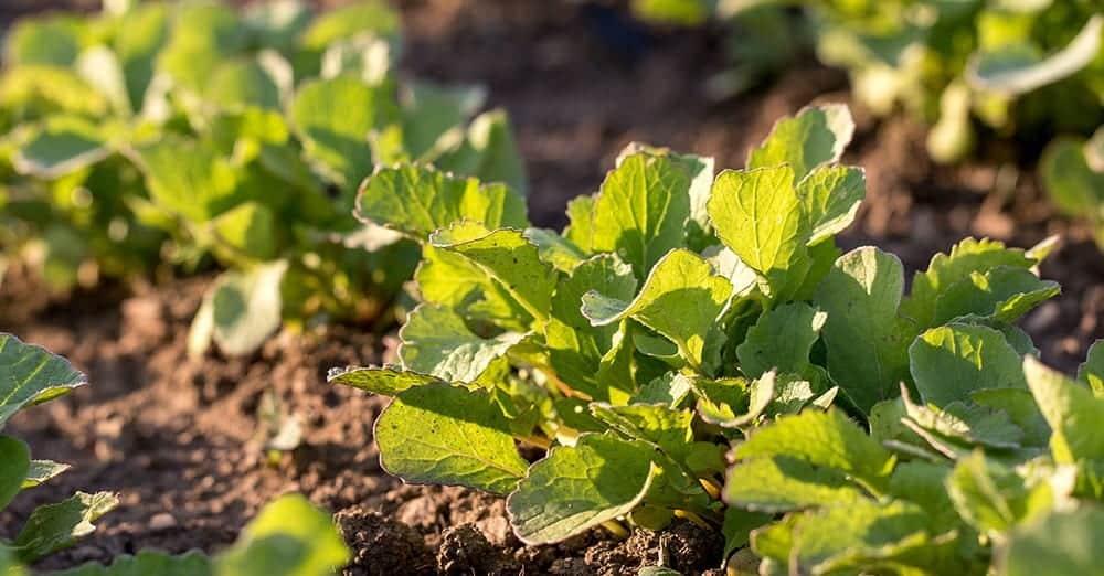 radish-greens-growing-in-sun