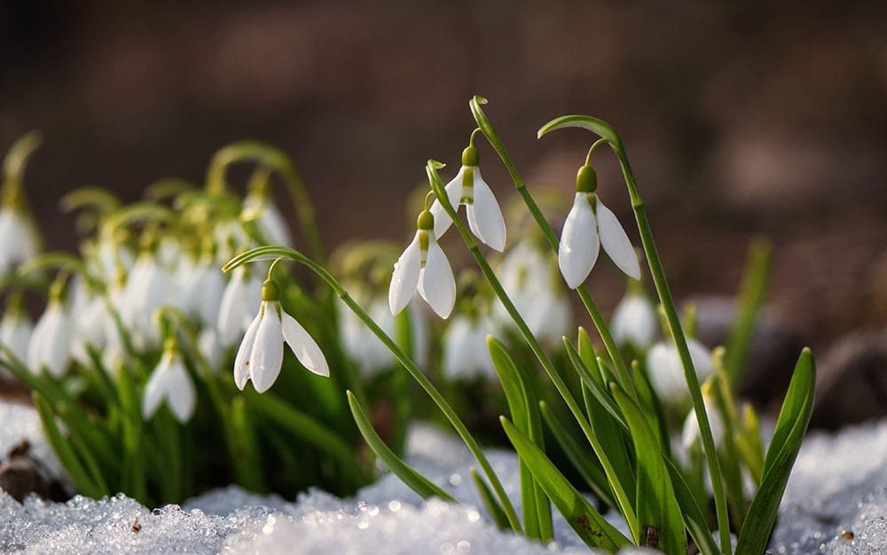 snowdrop winter shade plant