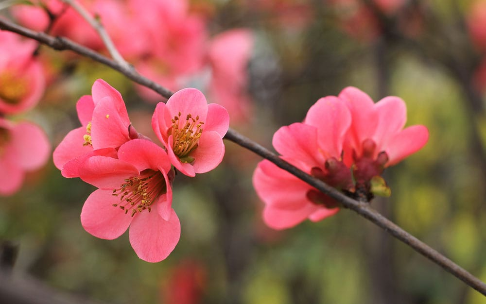japonese-quince