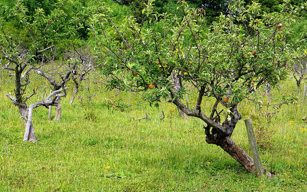 twin-apple-trees