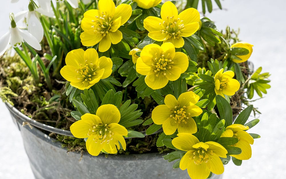 winter-aconite