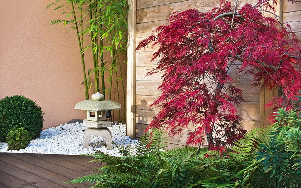 acer japanese maple