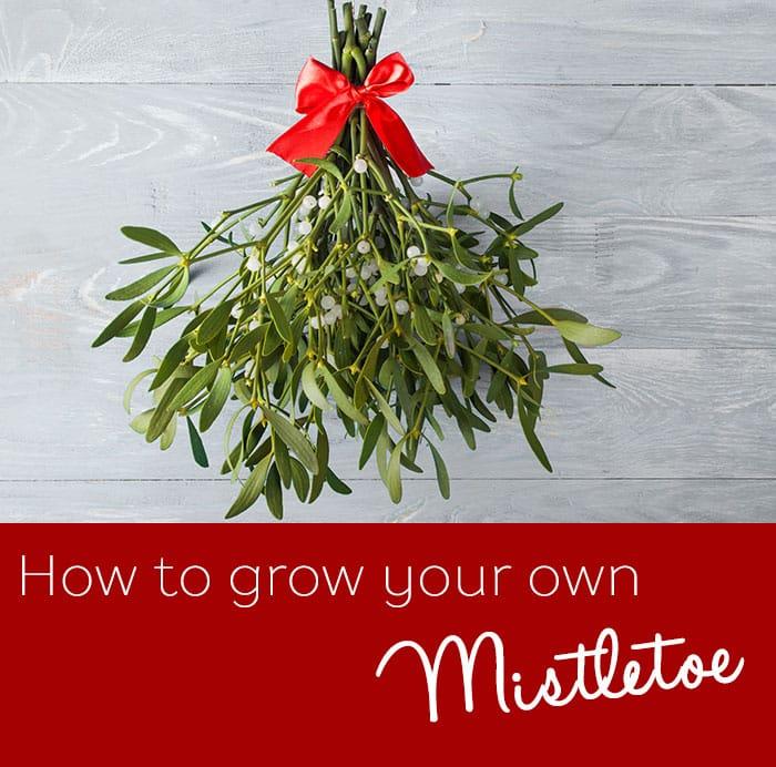 how to grow your own mistletoe