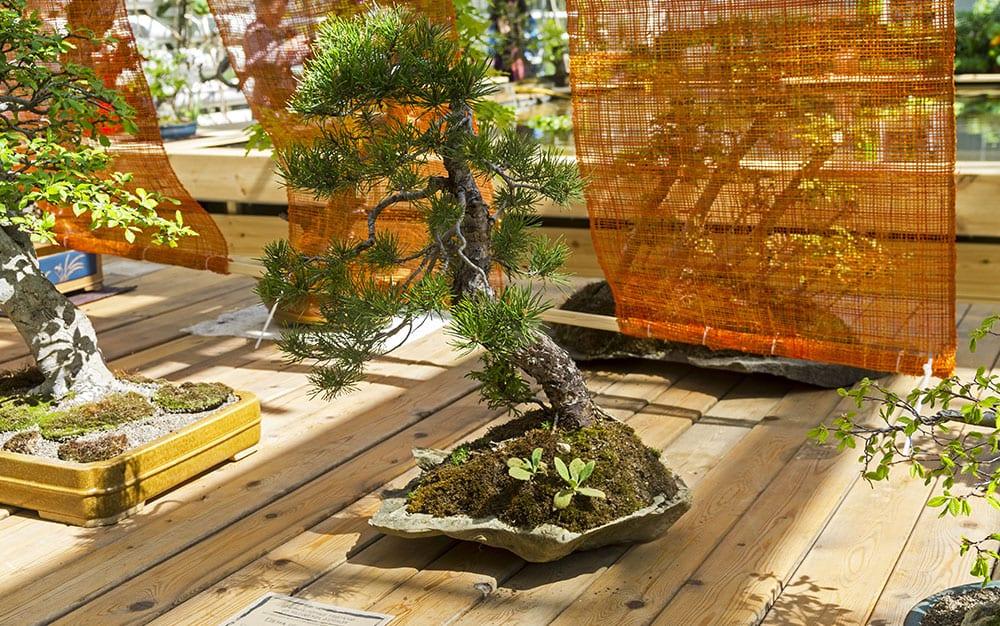 bonsai-trees-on-decking