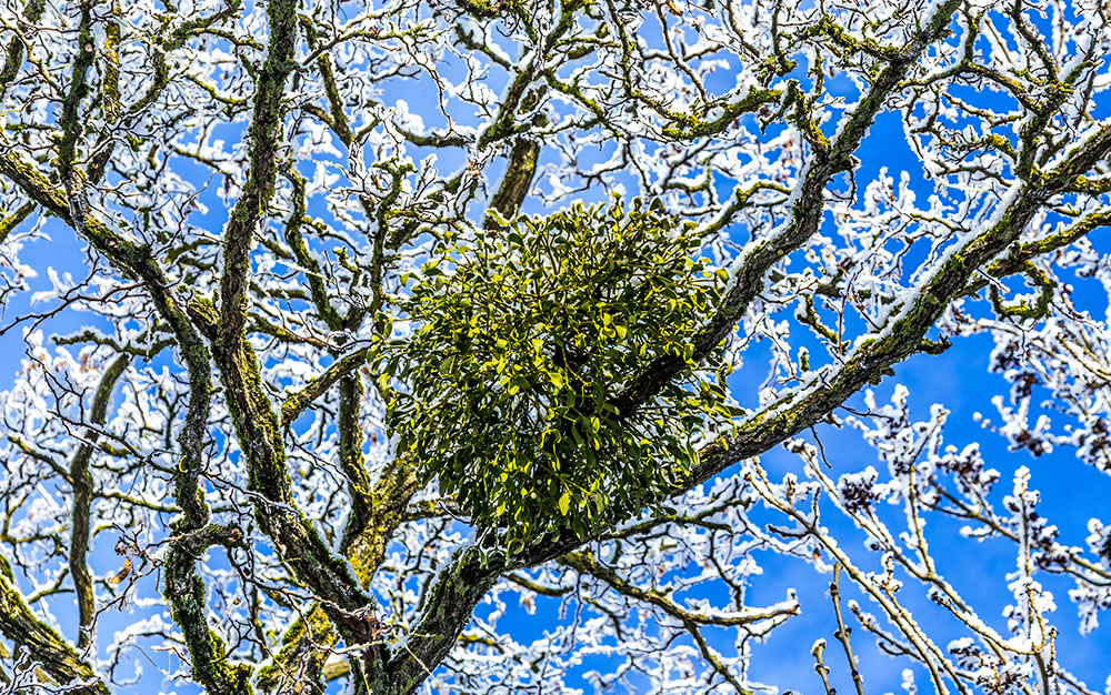 misteltoe-in-tree