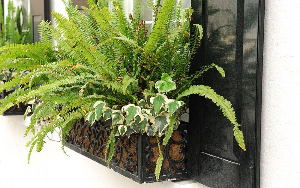 window-box-fern