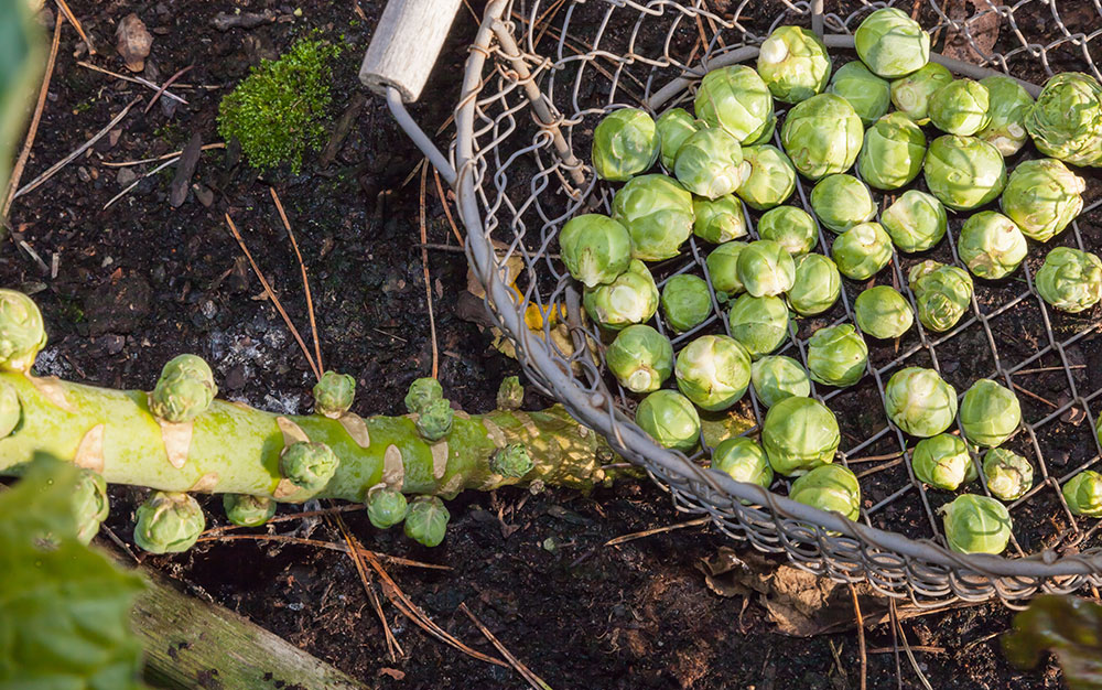 harvesting-sprouts