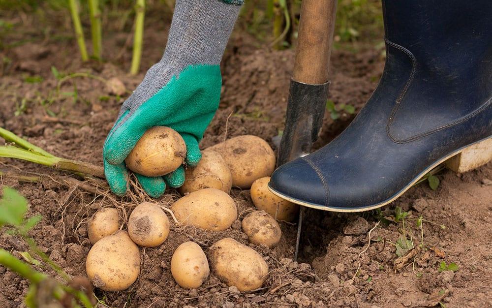 lifting-potatoes