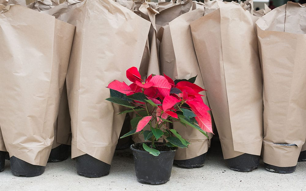 poinsettias-wrapped-in-paper