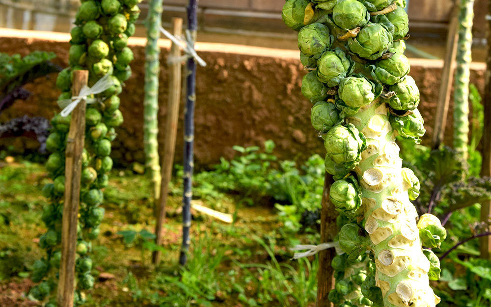 sprouts-stake