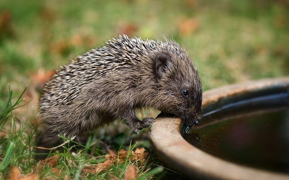 hedgehog-drinking-water