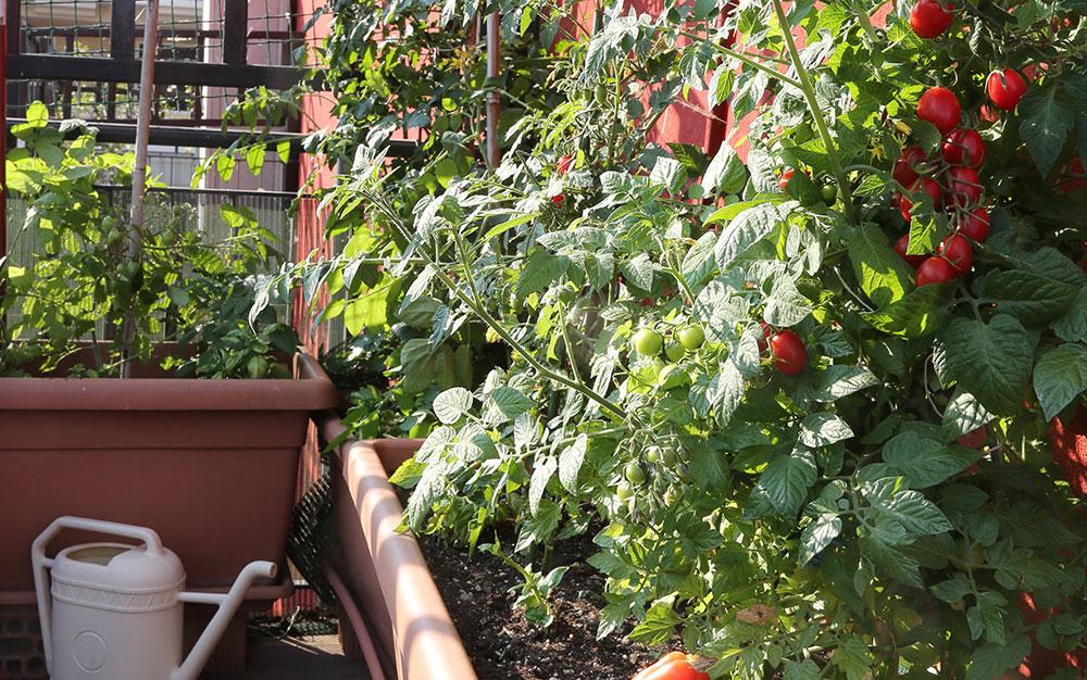 tomatoes-balcony