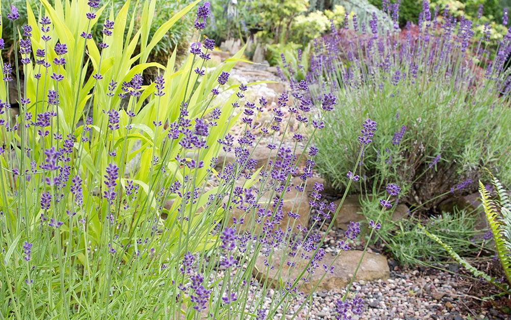 lavender-pathway