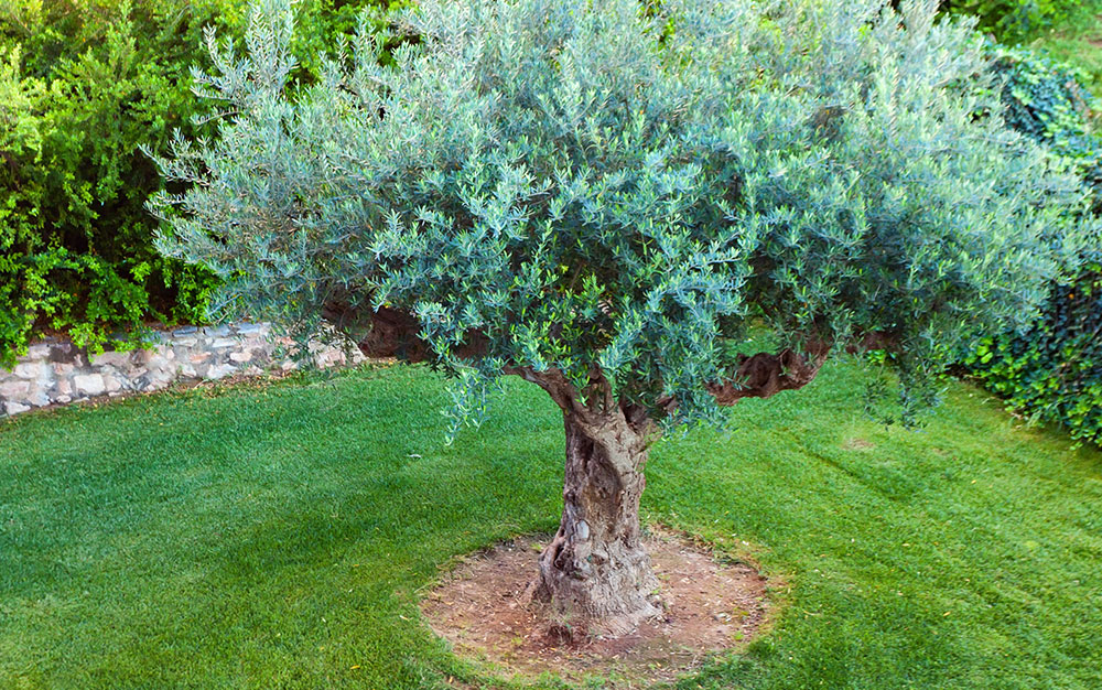 olive-tree-centrepiece