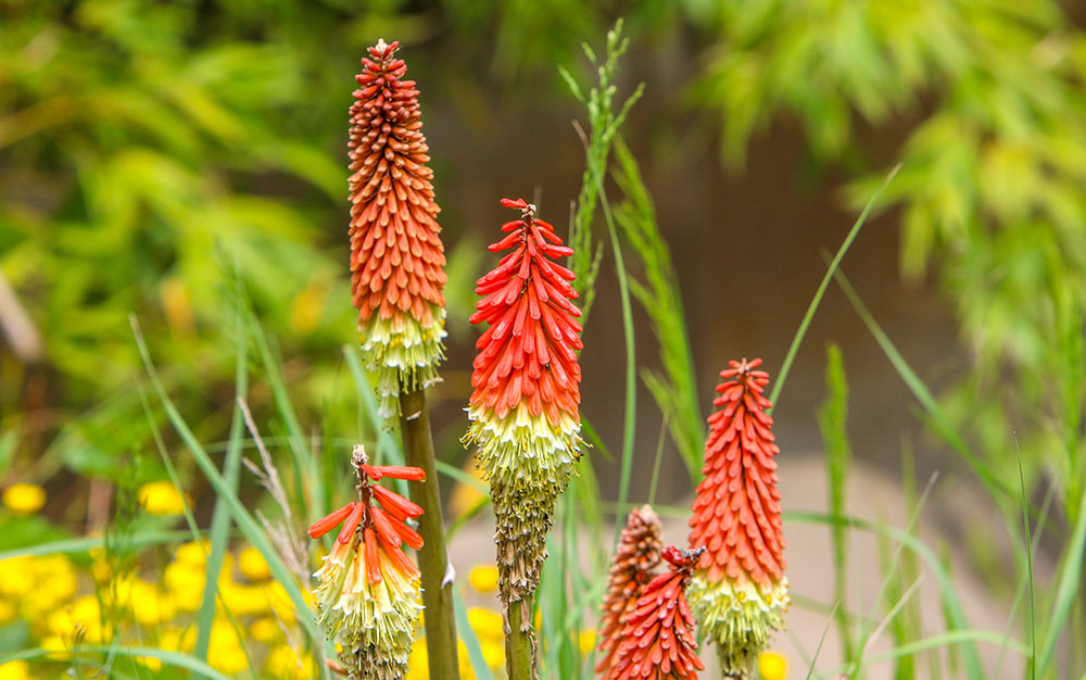 red-hot-poker