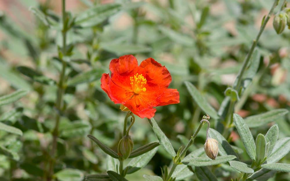 rock-rose-flowers