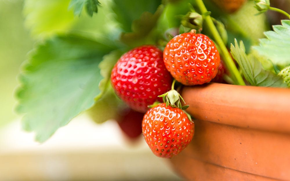 strawberries-growing
