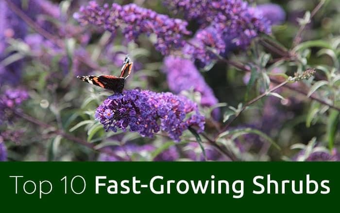 10 Best Fast Growing Shrubs For Instant Garden Impact