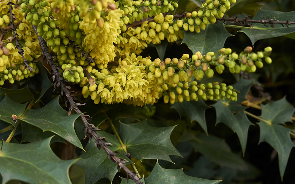 10 best fast growing shrubs for instant garden impact mahonia is generally an evergreen shrub with deep green glossy leaves and wonderfully contrasting sprays of fragrant yellow flowers in spring mightylinksfo