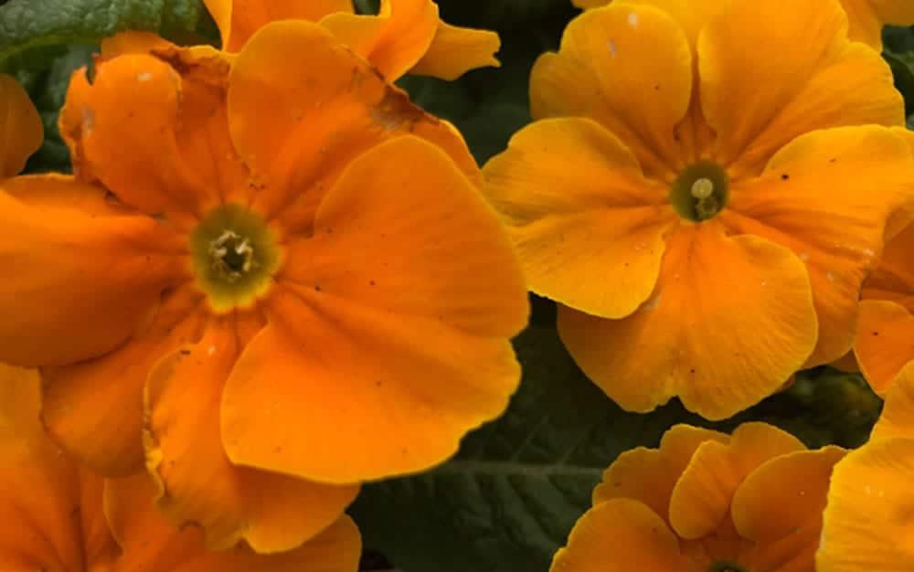 primrose-orange