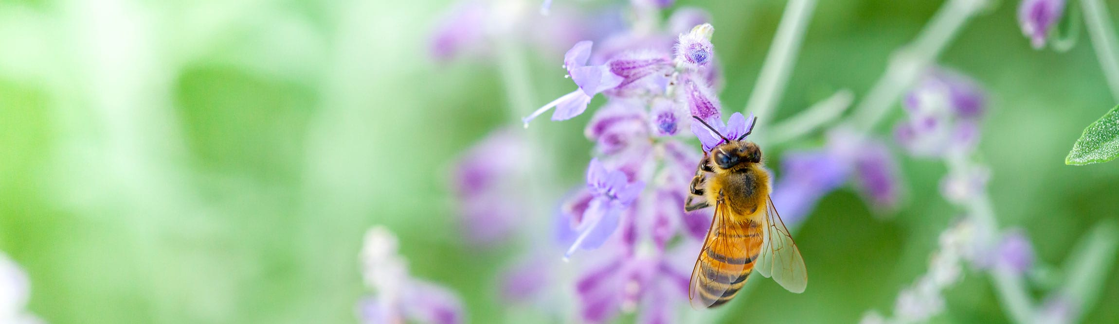 Bee-on-purple-flower