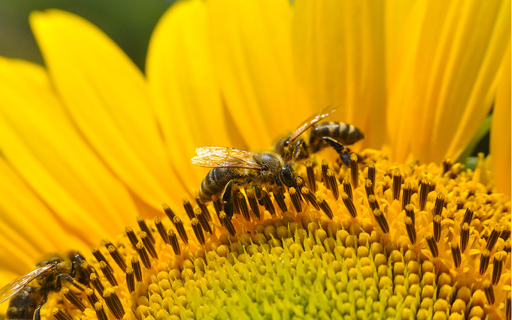 Bees-on-sunflower