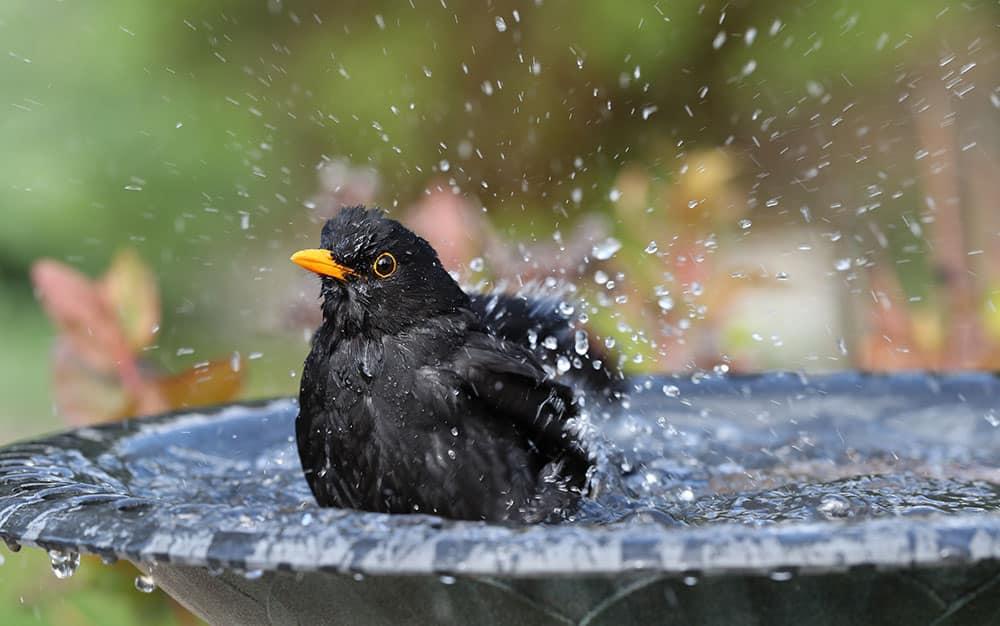 Blackbird-in-bird-bath