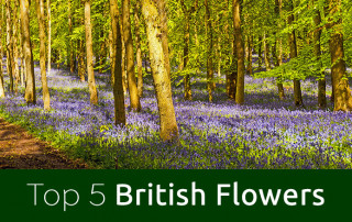 British-Flowers-feature-image bluebell woods