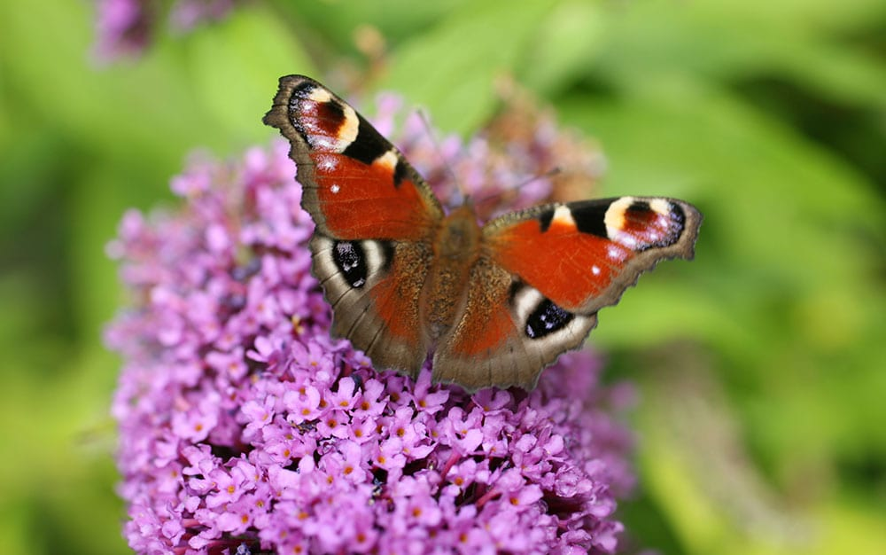 Buddleia-with-butterfly