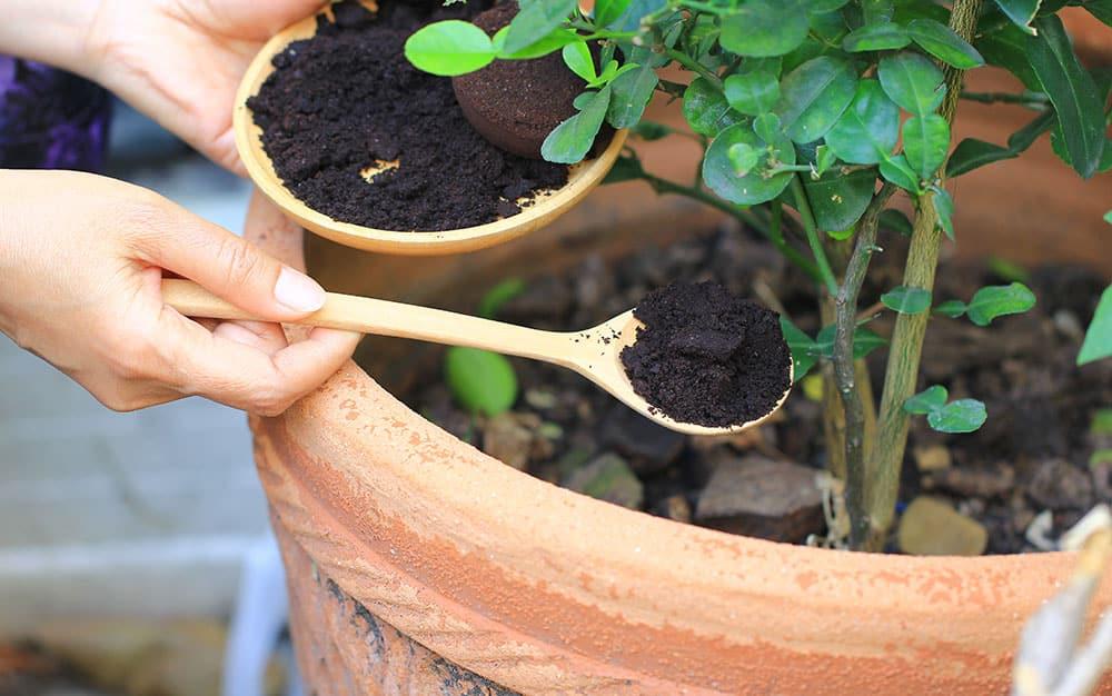 Coffee-grounds-around-plants