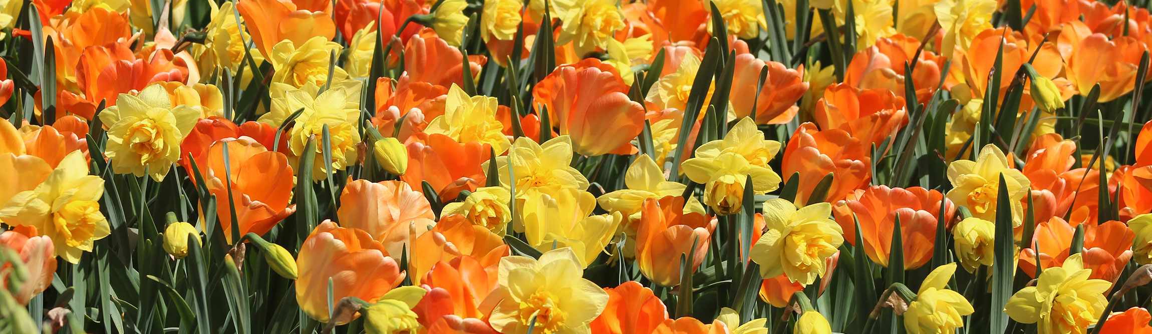 Daffodils-and-tulips-long