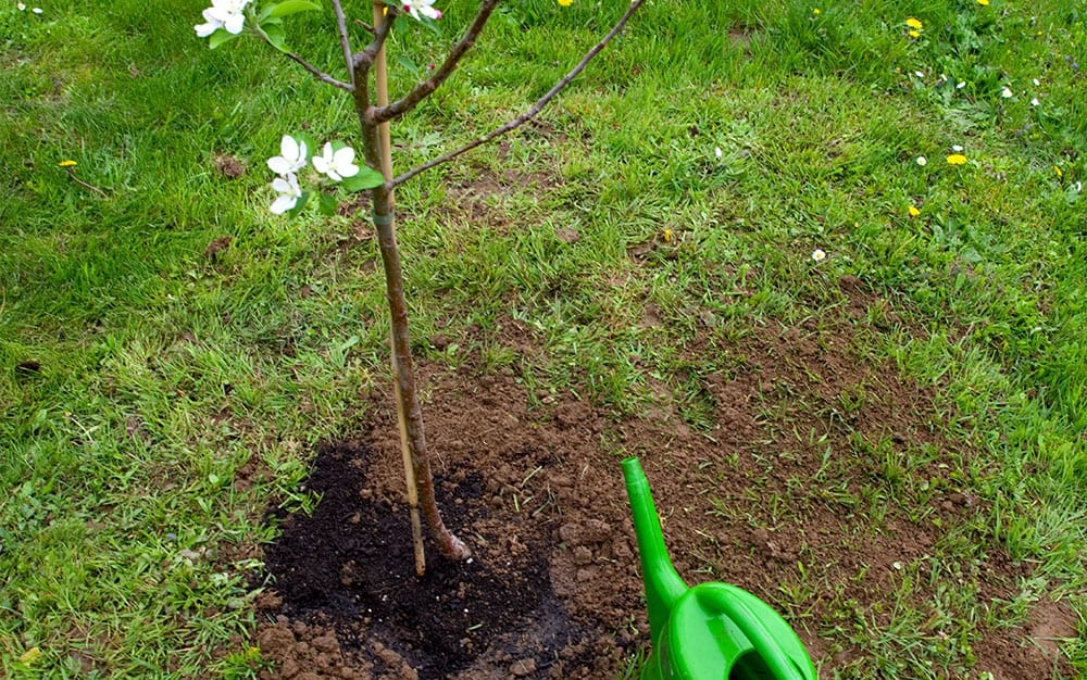 Newly-planted-tree