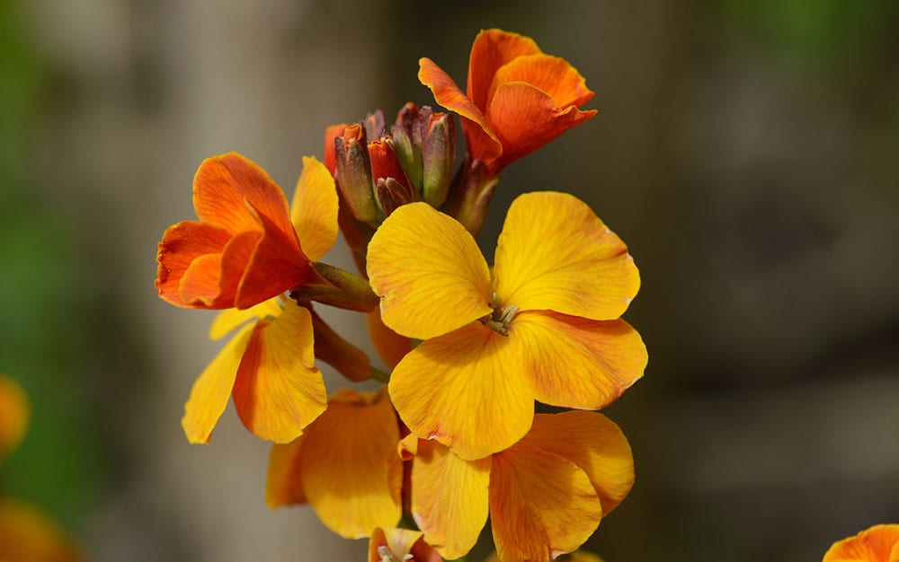 Orange-wallflower