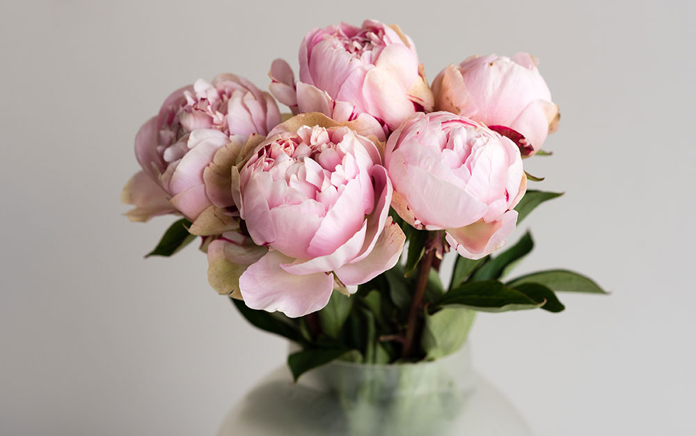 Peonies-cut-flowers