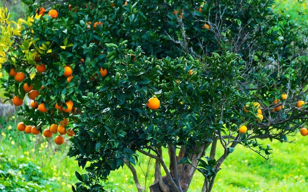 Fruit-tree-in-crop