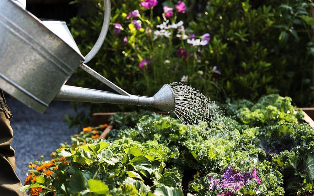 Watering-salad-leaves