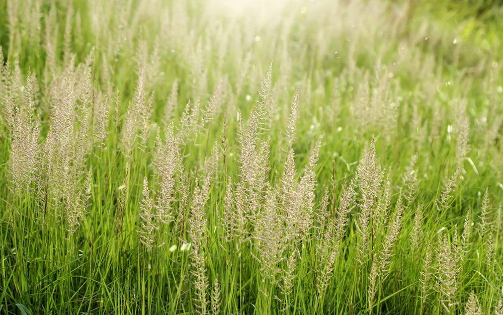 Wild-grass