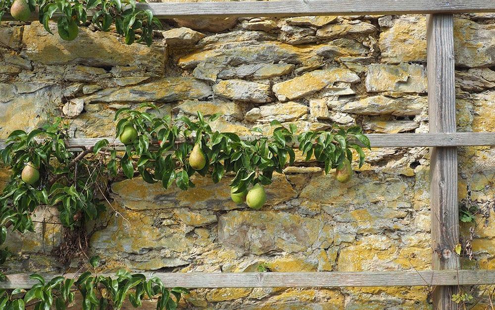 fan-trained-pear-tree