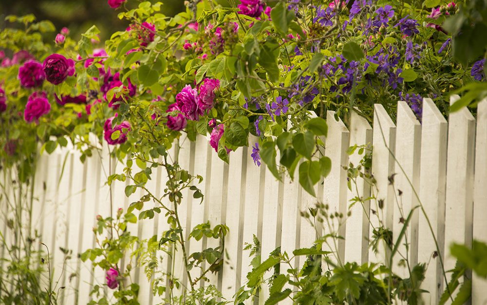 roses-over-picket-fence