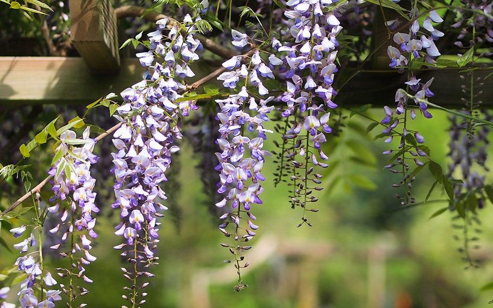 wisteria-pergola
