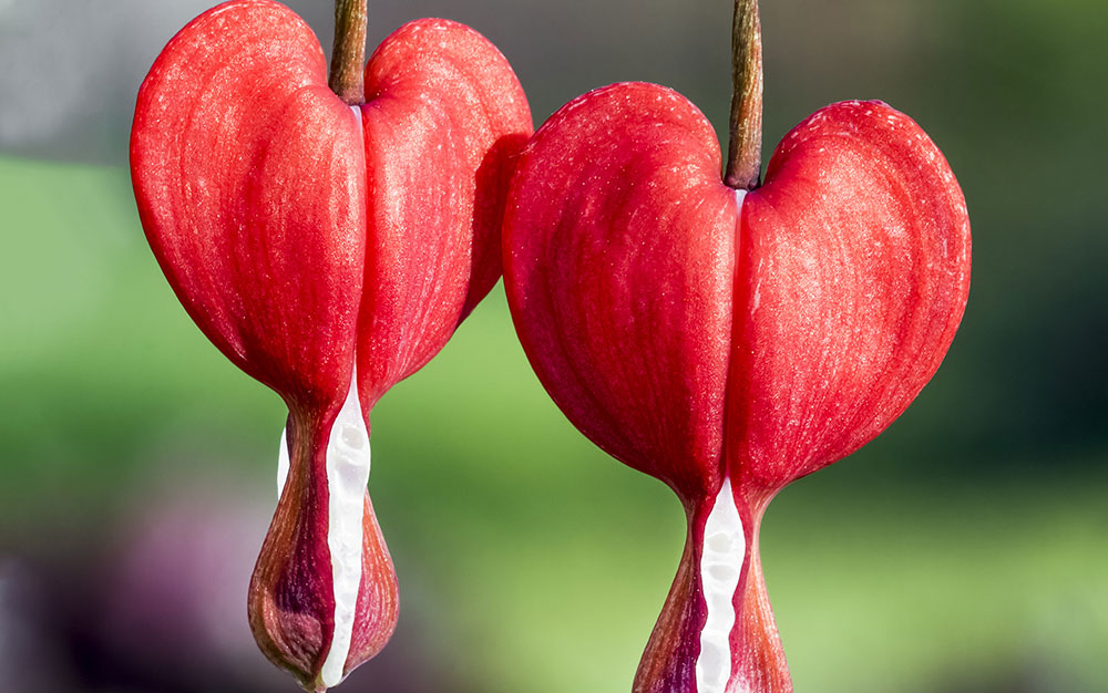 Bleeding-heart-red