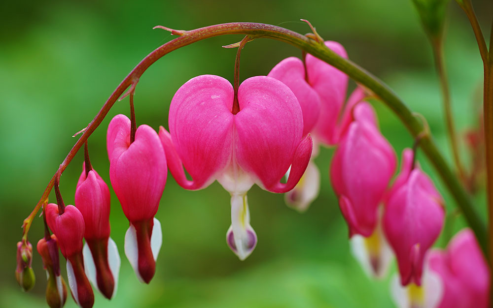 Bleeding-heart pink
