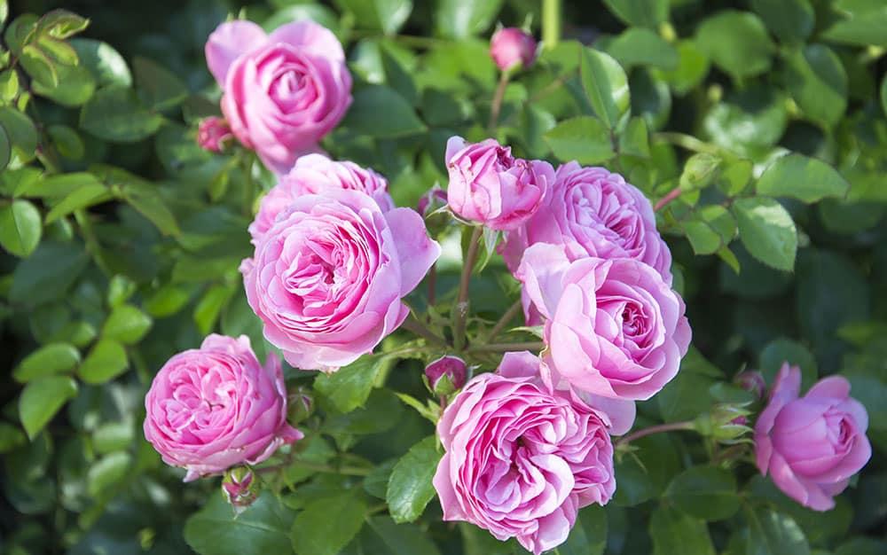 Floribunda-pink-rose