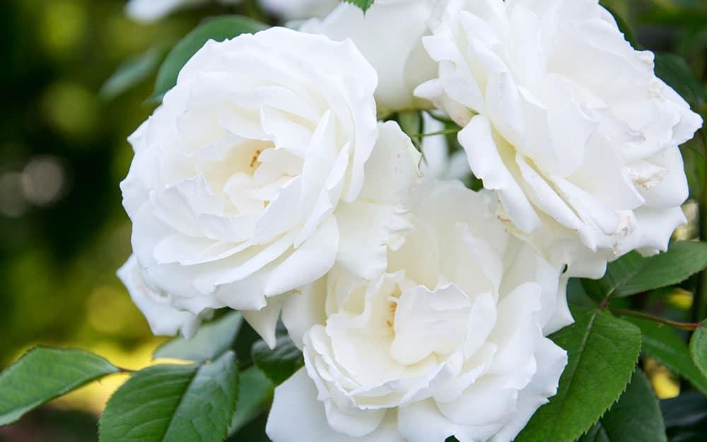 Grandiflora-white-rose