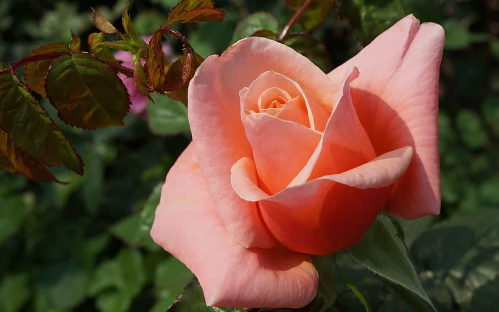 Hybrid-tea-rose
